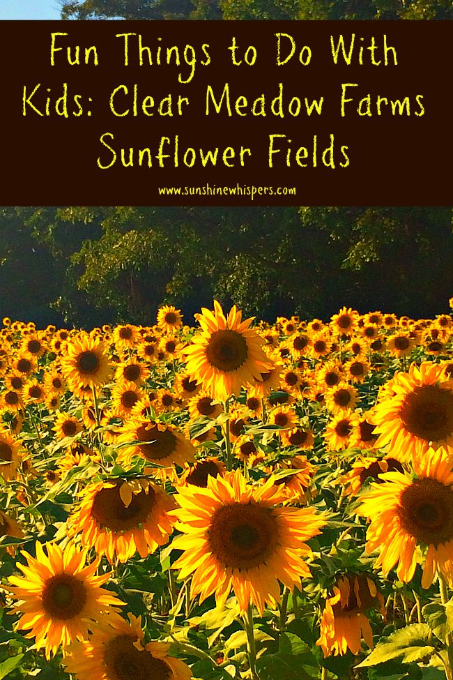 . Clear Meadow Farms Sunflower Fields and the End of Summer