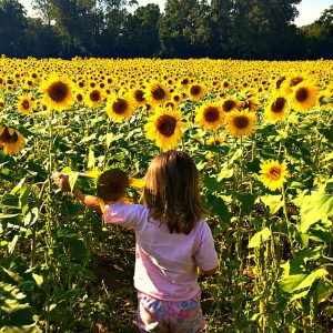 clear meadow farms sunflower fields