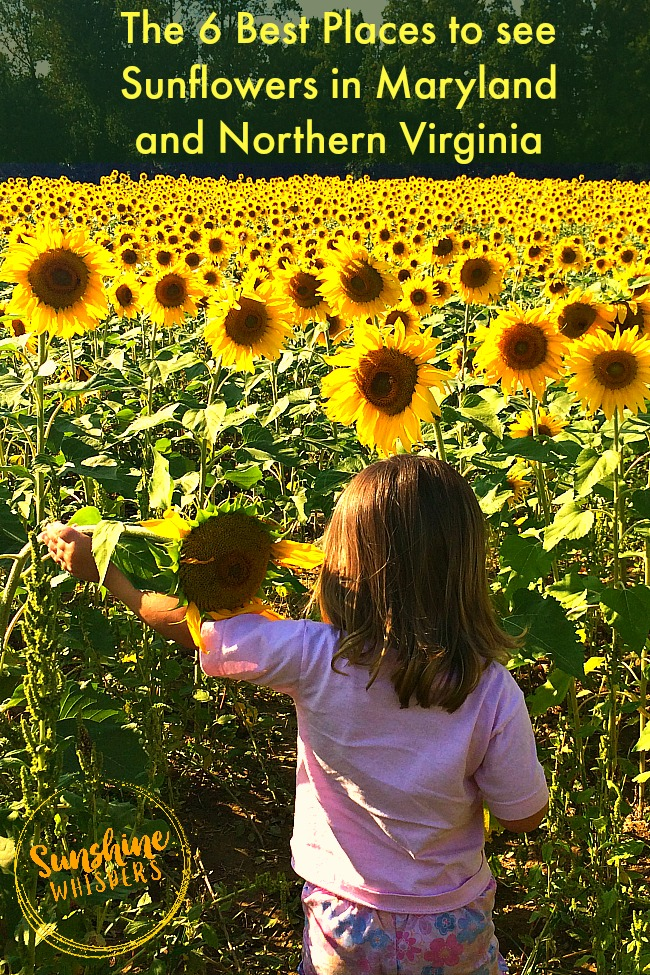 the 6 best places to see sunflowers in maryland and northern virginia