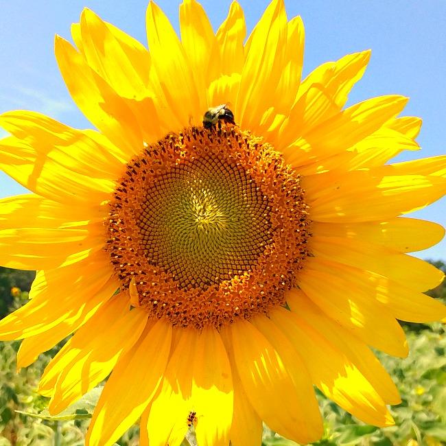 burnside farms summer of sunflowers