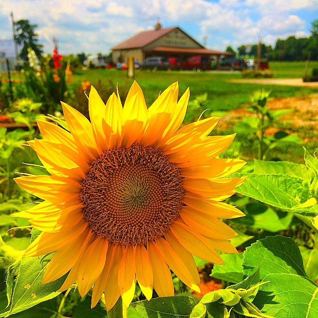 sunflowers in md