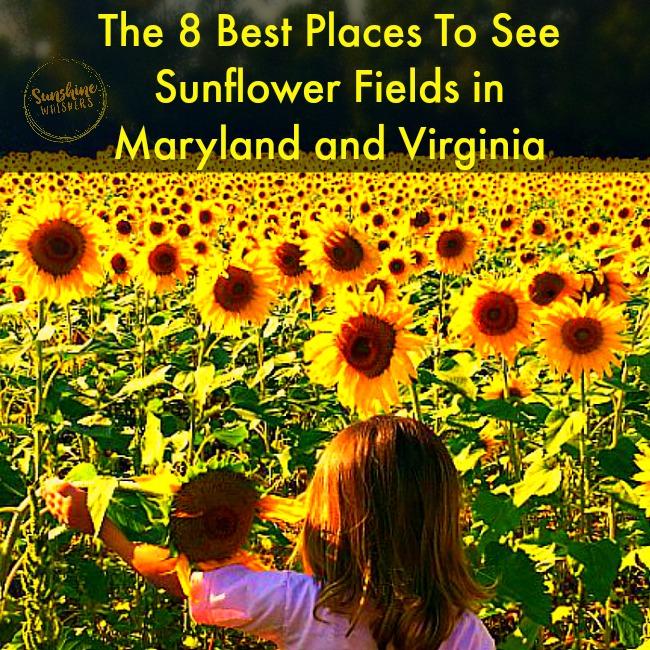 sunflower fields maryland