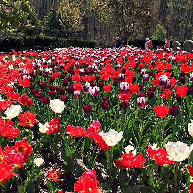 brookside gardens tulips